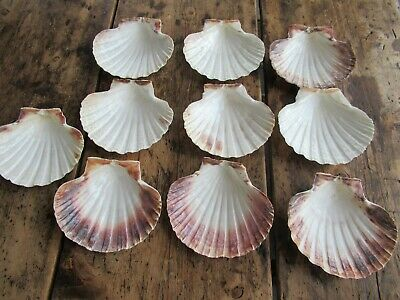 10 Scallop Shells - Cooking  Crafts etc