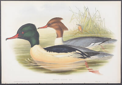 Gould - Goosander. 534 - 1862-1873 Birds of Great Britain FOLIO