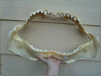 "(sj470-29) BIG 25-1/2"" Tiger SHARK jaw sharks jaws teeth taxidermy collectible"