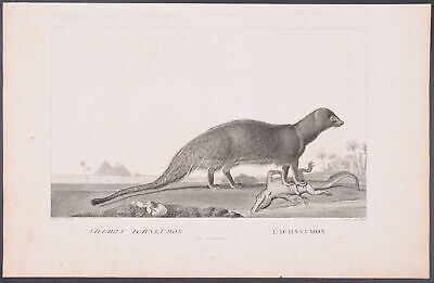 Saint-Hilaire - Egyptian Mongoose. 6 - 1801 La Menagerie du Museum...