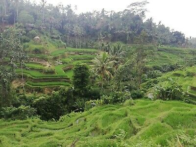 Digital Picture / Photo / Wallpaper - Free email delivery - Bali Rice Terrace
