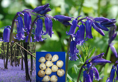 50 ORGANIC ENGLISH BLUEBELL BULBS, Hyacinthoides Non Scripta, Freshly Lifted