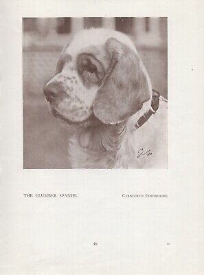 Clumber Spaniel Head Study Old Vintage 1934 Named Dog Print Page