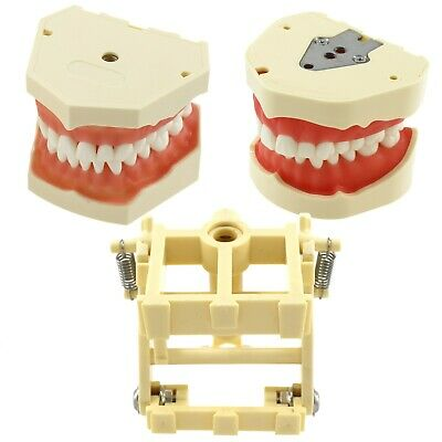 Frasaco Dental Typodont Model Screw Retain Removable Teeth Articulate Pole Mount