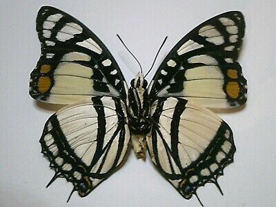 Real Insect/Butterfly/Moth Set/Spread B5674 Rare A+ Charaxes nobilis 7.5 cm