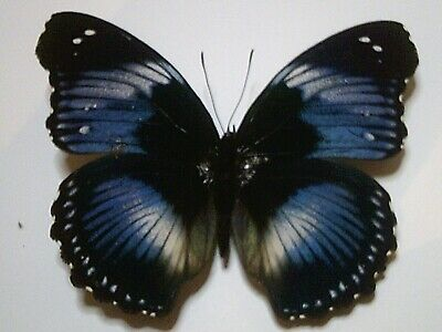 Insect/Butterfly/Moth Set/Spread B5686 Rare Blue Hypolimnas monteironas 9+ cm