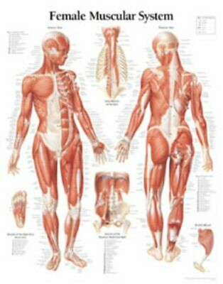 Muscular System with Female Figure Laminated Poster 9781930633056 | Brand New