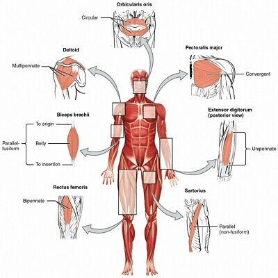 "Human Body Anatomical Chart Muscular System Poster Art Silk Print 24x24"" 32x32"""