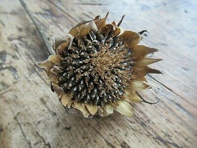 Dried Sunflower Seed Head - English - Floral Design / Crafts BEAUTIFUL!