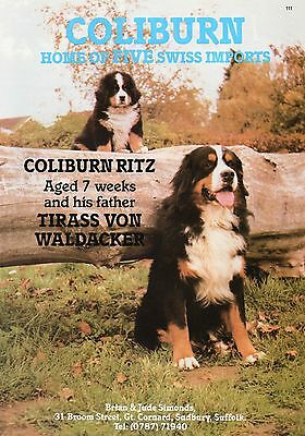 Bernese Mountain Dog Coliburn Our Dogs 1987 Dog Breed Kennel Advert Print Page