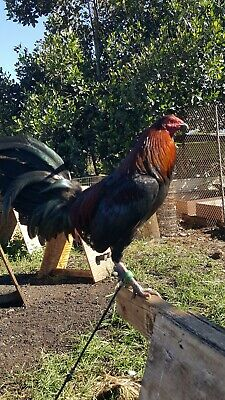 Gallo Mona Fleece Dummy for Poultry//Rooster