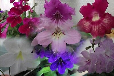 Streptocarpus Plug Plants - Varieties E to M
