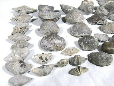 "Devonian Era Michigan Fossil Collection / Makes Great ""Starter"" Collection!"