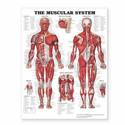 NEW The Muscular System Giant Chart Laminated Wallchart Free Shipping