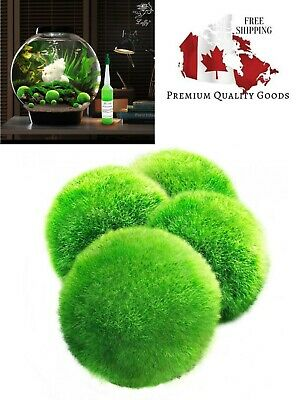 4 LUFFY Giant Marimo Moss Balls - Aesthetically Beautiful & Create Healthy