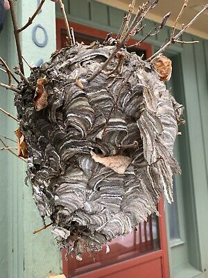 38 inch diameter Hornet Nest Huge Intact Bee Wasp House Bees Hive