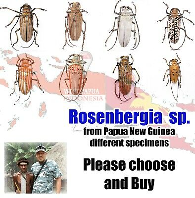 Rosenbergia different sp.* from Papua New Guinea, PNG add new every time
