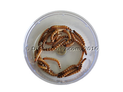 Live Superworms with 10% over count by weight (Large)