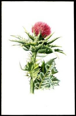 Milk Thistle 1897 F. Edward Hulme Lithograph Wild Flowers Horticulture Plants