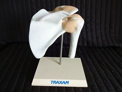 TRAXAM Anatomical Joint - Medical Training Aid on Stand (Poss Shoulder Joint?)