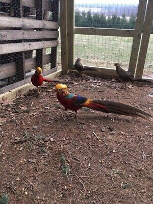 12 Red Golden Pheasant hatching eggs. Laying Now. Fertility Verified