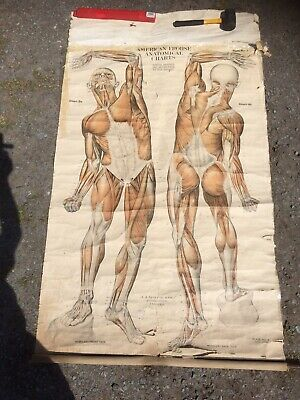 Vintage American Frohse Anatomical Chart 1918 Plate No 2 Fabric Back Poster
