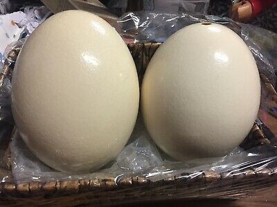 Two Ostrich Eggs - hollow - Sell for Charity.