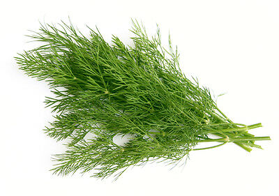 DILL anethum graveolens 50 seeds HERB spice
