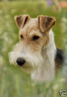 Wire Fox Terrier A6 Blank Card Design No 7 By Starprint