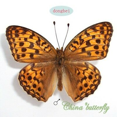 5 unmounted butterfly Nymphalidae argynnis coreana   A1   #13