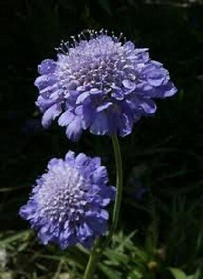 """DEER RESISTANT SCABIOSA /""""NIGHT AND DAY/"""" FLOWER SEEDS 25 FRAGRANT EASY!"""