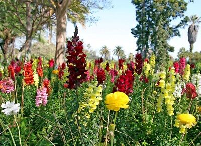 snapdragon GIANT MIX 1000 Seeds antirrhinum majus manly reds yellows