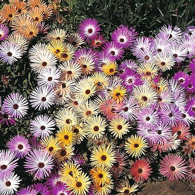 LIVINGSTONE DAISY criniflorum mixed 100 seeds short annual 10cm DROUGHT TOLERATE
