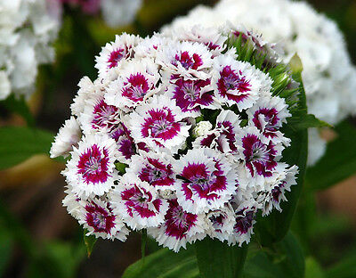 SWEET WILLIAM ' wee willie MIXED ' flower 100 seeds dianthus barbatus SHADES of