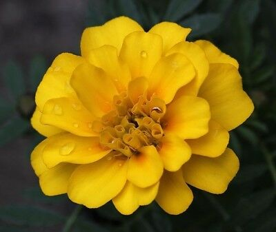 Tagetes patula 'Petite Mix' - French Marigold - Seeds