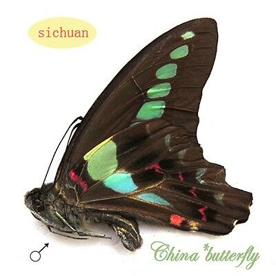 green 10 unmounted butterfly Graphium sarpedon  materials artwork  A1-