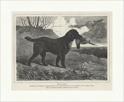 Painter Curly Coated Retriever Apportierhund Otto Vollrath Jagd Waidmann 0049