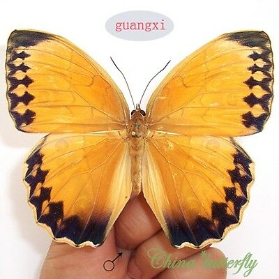 WHOLESALE LOTS 100 pcs butterfly Stichophthalma howqua material artwork CHINA A1