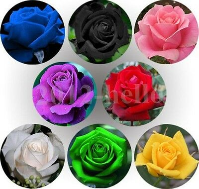 50PCS  Rare Multi-Colors Rainbow Rose Flower Seeds Garden Plant, Various Colors