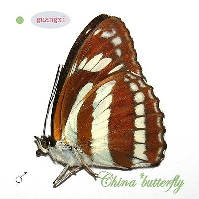 5 unmounted butterfly Nymphalidae Athyma jina GUANGXI SPRING FORM A1 #G4