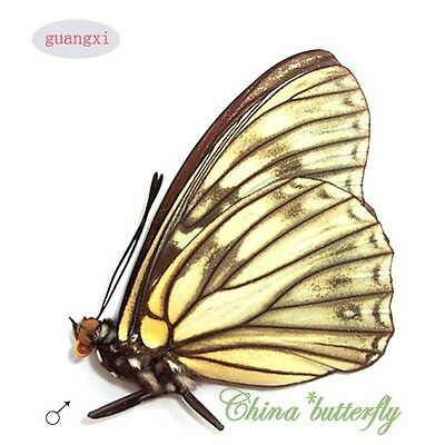 2 unmounted butterfly Nymphalidae Hestina persimilis GUANGXI SPRING FORM  A1-