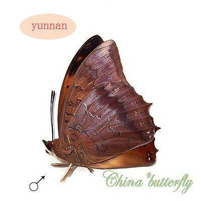 2 PCS unmounted butterfly Nymphalidae charaxes marmax A1-
