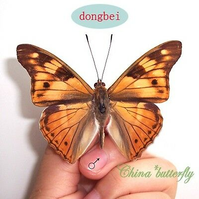 5 unmounted butterfly nymphalidae chitoria ulupi MALE A1-