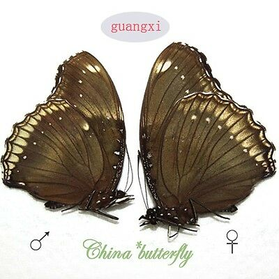 PAIR unmounted butterfly Nymphalidae Hypolimnas bolina GUANGXI A1-