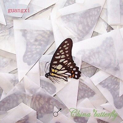 WHOLESALE green 100 unmounted butterfly Nymphalidae Graphium chironides  A1 A1-