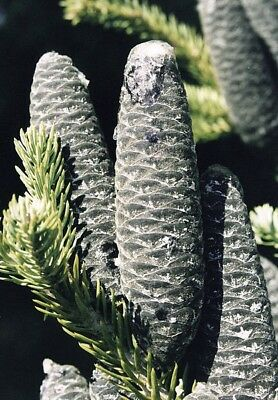 Abies balsamea - Balsam Fir - Fresh Seeds