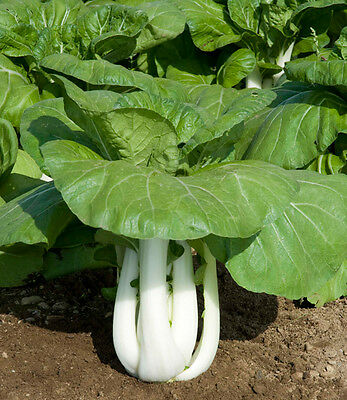 Chinese Cabbage Seed: Joi Choi Chinese Cabbage Seeds  Fresh Seed  FREE Shipping
