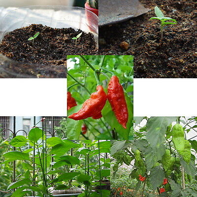 25 Seeds World Hottest Bhut Ghost Peppers Seeds Cobra Chili Rare Naga Morich S9