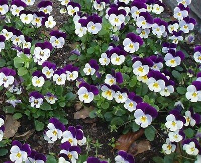 HEARTSEASE wild pansy 100 seeds JOHNNY JUMP UP edible flowers