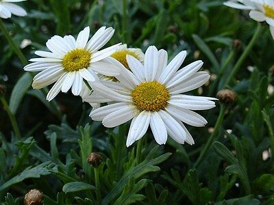 SHASTA DAISY chrysanthemum maximum 50 SEEDS drought tolerant perennial